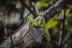 Praying mantis on a branch Royalty Free Stock Images