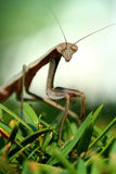 Praying mantis on a bush macro Royalty Free Stock Image