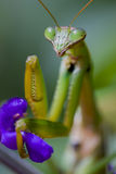 Praying Mantis, Chinese Mantis Stock Photo