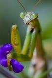 Praying Mantis, Chinese Mantis. Close-up of Praying Mantis, Chinese Mantis (Tenodera aridifolia sinensis) pinching purple flower Stock Photo