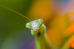 Praying Mantis, Chinese Mantis Stock Image