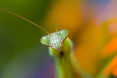 Praying Mantis, Chinese Mantis. Close-up of Praying Mantis, Chinese Mantis (Tenodera aridifolia sinensis Stock Image