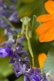Praying Mantis, Chinese Mantis. (Tenodera aridifolia sinensis) on purple flowers Royalty Free Stock Photos