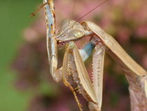 Praying Mantis Cleaning Royalty Free Stock Photos