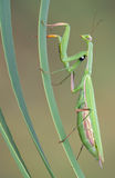 Praying mantis climbing. A praying mantis is climbing some reeds Stock Photo