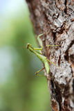 Praying Mantis Climbing Up a Pine Tree Royalty Free Stock Images