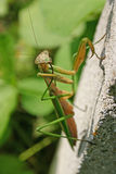 Praying Mantis Close Up Royalty Free Stock Photography