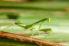 Praying Mantis. Close up of an adult praying mantis in its natural environment Stock Photos