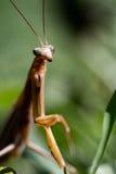 Praying Mantis Royalty Free Stock Images