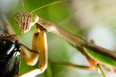 Praying Mantis. Close-up of praying mantis eating a cicada Royalty Free Stock Image