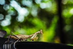 Praying Mantis close up Stock Image