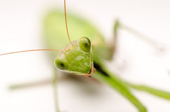 Praying Mantis Close Up Stock Photos