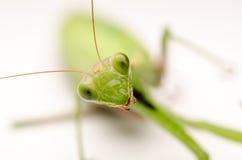 Praying Mantis Close Up stock photos