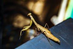 Praying Mantis close up Royalty Free Stock Image