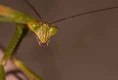 Praying mantis close up. Starring viewer Royalty Free Stock Image