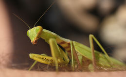 Praying mantis closeup Stock Images