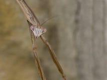 Praying mantis closeup Royalty Free Stock Photography