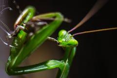 Praying Mantis close up Stock Photography