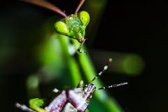 Praying Mantis close up Royalty Free Stock Images