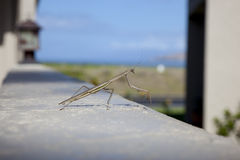 The Praying Mantis Stock Photo
