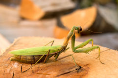 Praying mantis. Closeup on a piece of choped wood Royalty Free Stock Images