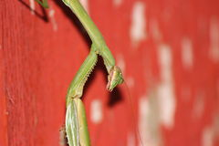 Praying Mantis Closeup Royalty Free Stock Image