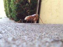 Praying mantis is confused. Twig like brown perplexed bug Stock Photo