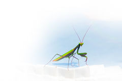 Praying Mantis copyspace nature insect background Stock Photos