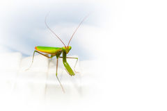 Praying Mantis copyspace nature insect background Stock Image