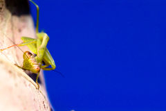Praying mantis detail. Details of a praying mantis on a clear winter day Stock Photography