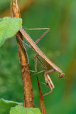 Praying Mantis with Dew Royalty Free Stock Photo