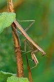 Praying Mantis with Dew Royalty Free Stock Photo