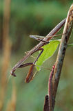 Praying Mantis with Dew Stock Photography