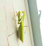 Praying Mantis on Door Frame Stock Images
