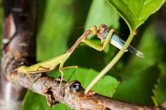 Praying Mantis eating a cricket stock photo