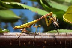 Praying Mantis eating a cricket Royalty Free Stock Photo