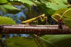 Praying Mantis eating a cricket Stock Image