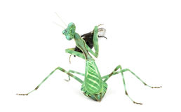 Praying mantis  eating a fly isolated on white Stock Image