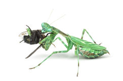 Praying mantis  eating a fly isolated on white Royalty Free Stock Images