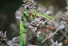 Praying Mantis eating a grasshopper Royalty Free Stock Image