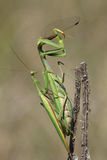 Praying mantis eating and mating Stock Image