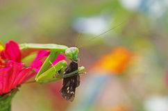Praying mantis eating a moth Stock Images