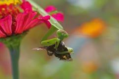 Praying mantis eating a moth Stock Photos