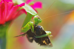 Praying mantis eating a moth Royalty Free Stock Images