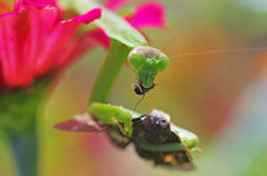 Praying mantis eating a moth. Glaring at us Stock Image