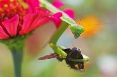 Praying mantis eating a moth Stock Images