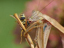 Praying Mantis Eating a Wasp Stock Photo