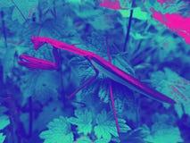Praying mantis edit. Up close shot of a praying mantis bright colors Stock Photos
