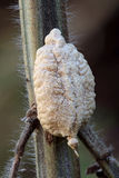 Praying Mantis Egg sack (Ootheca) Stock Image