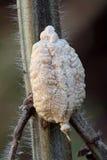 Praying Mantis Egg sack (Ootheca). Close up photo of a Praying Mantis egg dome, also called Ootheca Stock Image